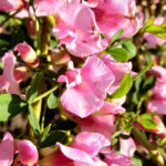 Purpurroter Geissklee Bluete rosa Chamecytisus purpureus 01
