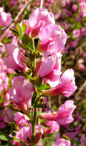 Purpurroter Geissklee Bluete rosa Chamecytisus purpureus 02