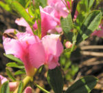 Purpurroter Geissklee Bluete rosa Chamecytisus purpureus 03