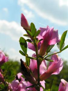Purpurroter Geissklee Bluete rosa Chamecytisus purpureus 04