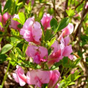 Purpurroter Geissklee Bluete rosa Chamecytisus purpureus 05