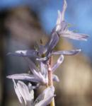 Puschkinie Blaustern Bluete weiss Scilla puschkinioides 04