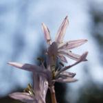 Puschkinie Blaustern Bluete weiss Scilla puschkinioides 05
