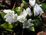 Bild: Puschkinie Blüte weiß Puschkinia scilloides