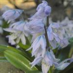 Puschkinien Blaustern Bluete weiss Scilla puschkinioides 05