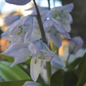Puschkinien Blaustern Bluete weiss Scilla puschkinioides 07