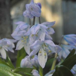 Puschkinien Blaustern Bluete weiss Scilla puschkinioides 08