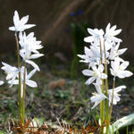 Puschkinien Blüte weiß Puschkinia scilloides