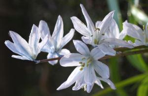 Puschkinien Bluete weiss Puschkinia scilloides 10