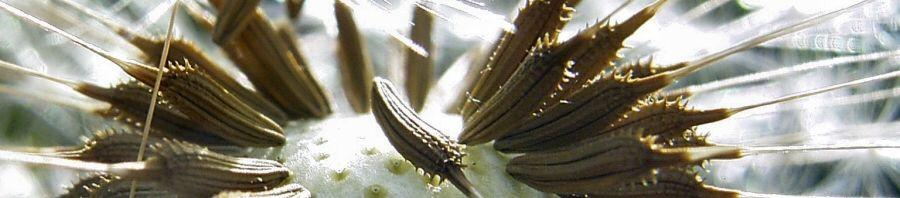 Anklicken um das ganze Bild zu sehen Pusteblume Taraxacum officinale