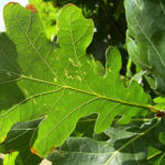 Pyramiden Eiche Eicheln Quercus robur var Fastigiata 08