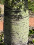 Bild: Queensland Bottletree Stamm grün Brachychiton rupestris