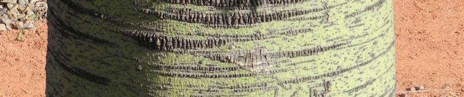 queensland-bottletree-stamm-gruen-brachychiton-rupestris