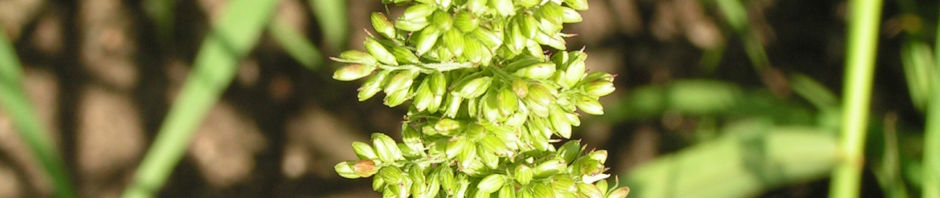 quirl-borstenhirse-fruchtstand-gruen-setaria-verticillata