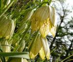 Quirl Schachblume Bluete weissgruen Fritillaria verticillata 03