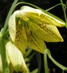 Quirl Schachblume Bluete weissgruen Fritillaria verticillata 04