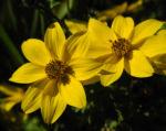 Quirlblaettriges Maedchenauge Bluete gelb Coreopsis verticillata 01