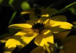 Quirlblaettriges Maedchenauge Bluete gelb Coreopsis verticillata 03