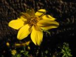Quirlblaettriges Maedchenauge Bluete gelb Coreopsis verticillata 07