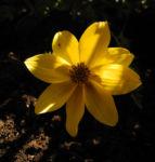 Bild: Quirlblättriges Mädchenauge Blüte gelb Coreopsis verticillata