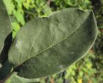 Quitte Baum Blattt gruen Cydonia oblonga 11