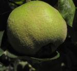 Quitte Baum Frucht gruen Cydonia oblonga 04