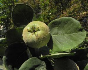 Quitte Baum Frucht gruen Cydonia oblonga 07