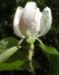 Zurück zum kompletten Bilderset Quitte Blüte weiß Cydonia oblonga