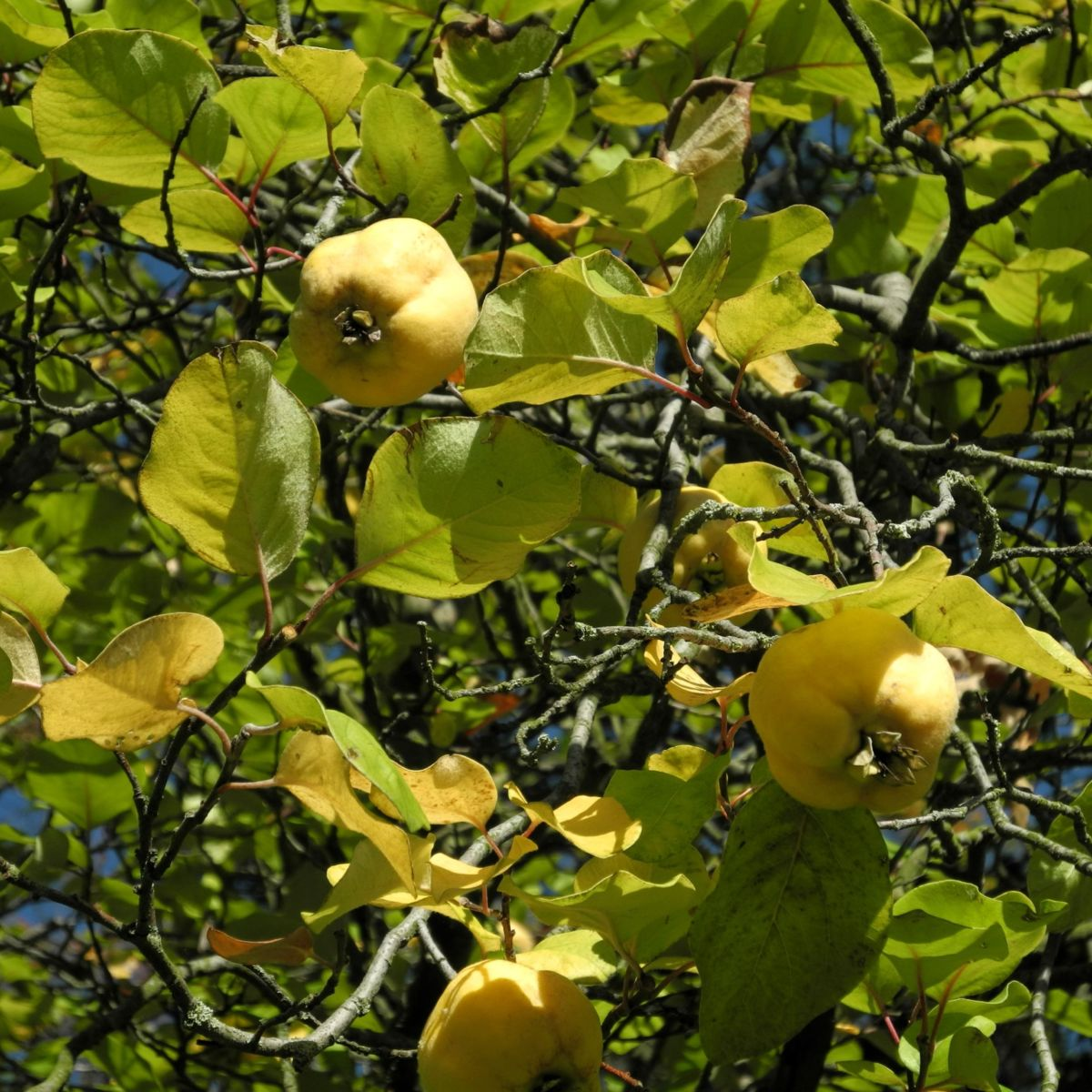 Quitte Frucht gelb Cydonia oblonga
