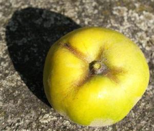 Quitte Frucht gelb Cydonia oblonga 03
