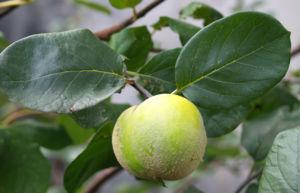 Quitte Frucht gelb Cydonia oblonga 04