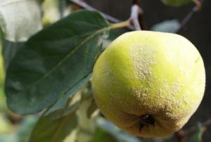 Quitte Frucht gelb Cydonia oblonga 06