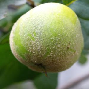 Quitte Frucht gelb Cydonia oblonga 07