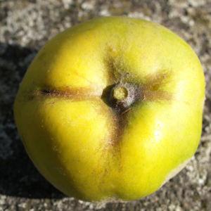 Quitte Frucht gelb Cydonia oblonga 08