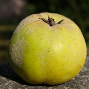 Quitte Frucht gelb Cydonia oblonga 09