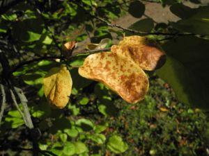 Quitte Frucht gelb Cydonia oblonga 10