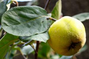 Quitte Frucht gelb Cydonia oblonga 12