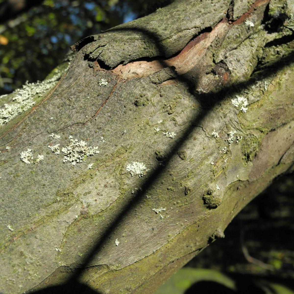 Quitte Rinde grau braun Cydonia oblonga