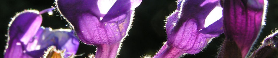 rachenbluetiger-salbei-bluete-lila-salvia-ringens