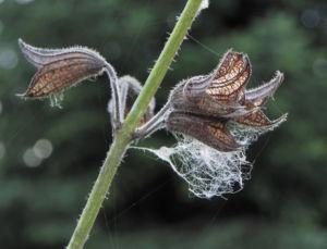 Rachenbluetiger Salbei Bluete lila Salvia ringens 05 1