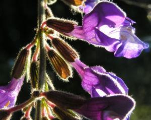 Rachenbluetiger Salbei Bluete lila Salvia ringens 06