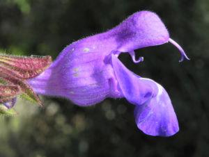 Rachenbluetiger Salbei Bluete lila Salvia ringens 17