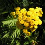 Rainfarn Bluetendolde gelb Tanacetum vulgare 01