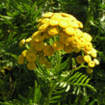 Rainfarn Bluetendolde gelb Tanacetum vulgare 02
