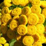 Rainfarn Bluetendolde gelb Tanacetum vulgare 03
