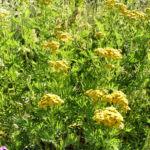 Rainfarn Bluetendolde gelb Tanacetum vulgare 04