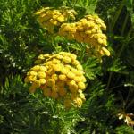 Bild: Rainfarn Blütendolde Blüte gelb Tanacetum vulgare