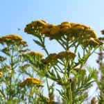 Rainfarn Bluetendolde gelb Tanacetum vulgare 06
