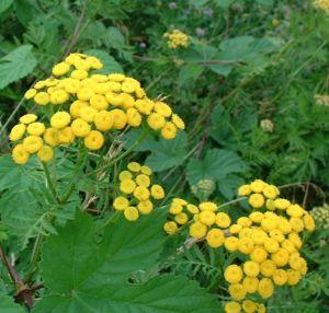 Rainfarn Blüte gelb Tanacetum vulgare
