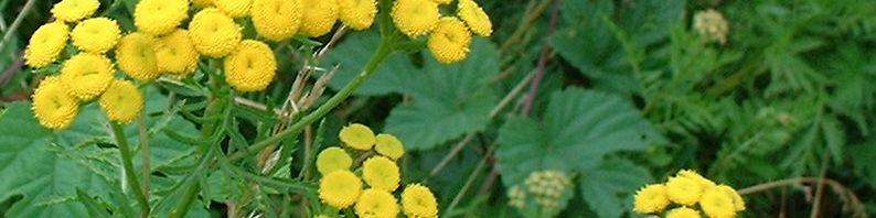 Anklicken um das ganze Bild zu sehen Rainfarn Blüte gelb Tanacetum vulgare